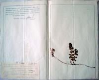 Будра плющевидная. Ylechoma hederacea. Инв. №М-11398/299, Гер-299.